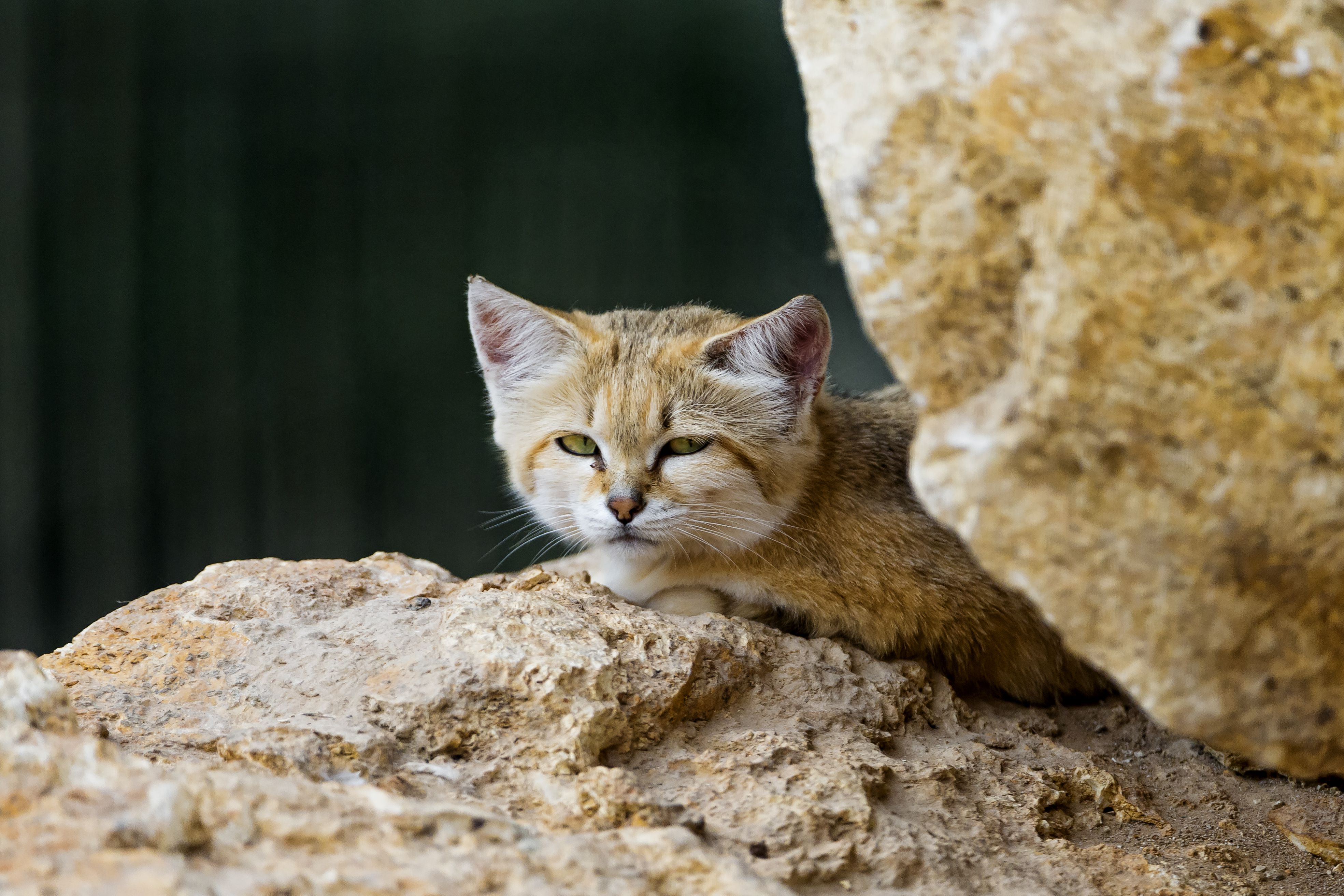 Forgotten Felines the Seven Small Cats of Africa