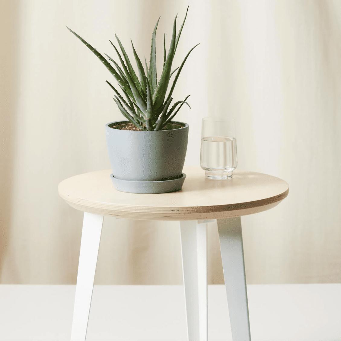 Bloomscape Hedgehog Aloe Plant
