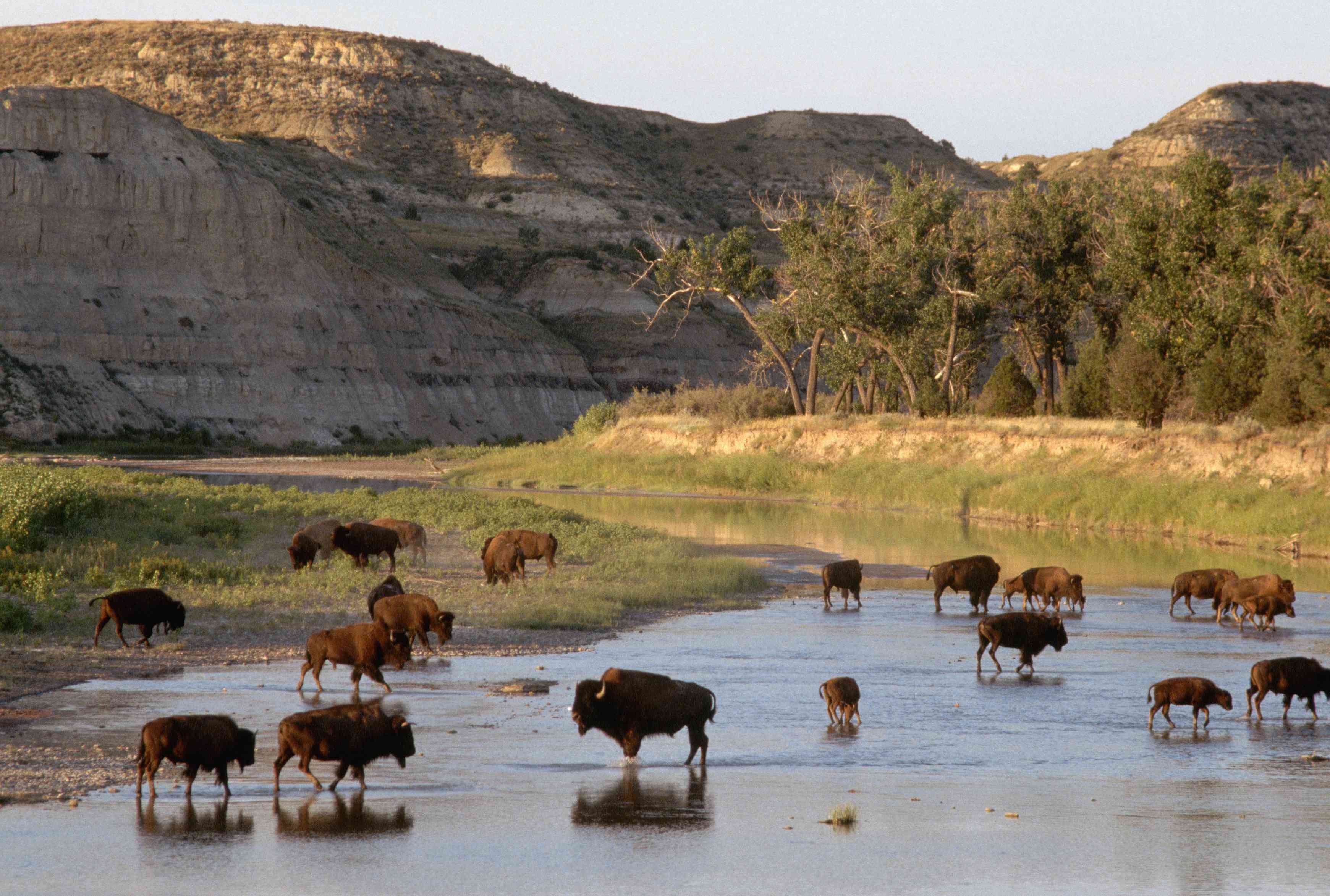Bison Wading in River