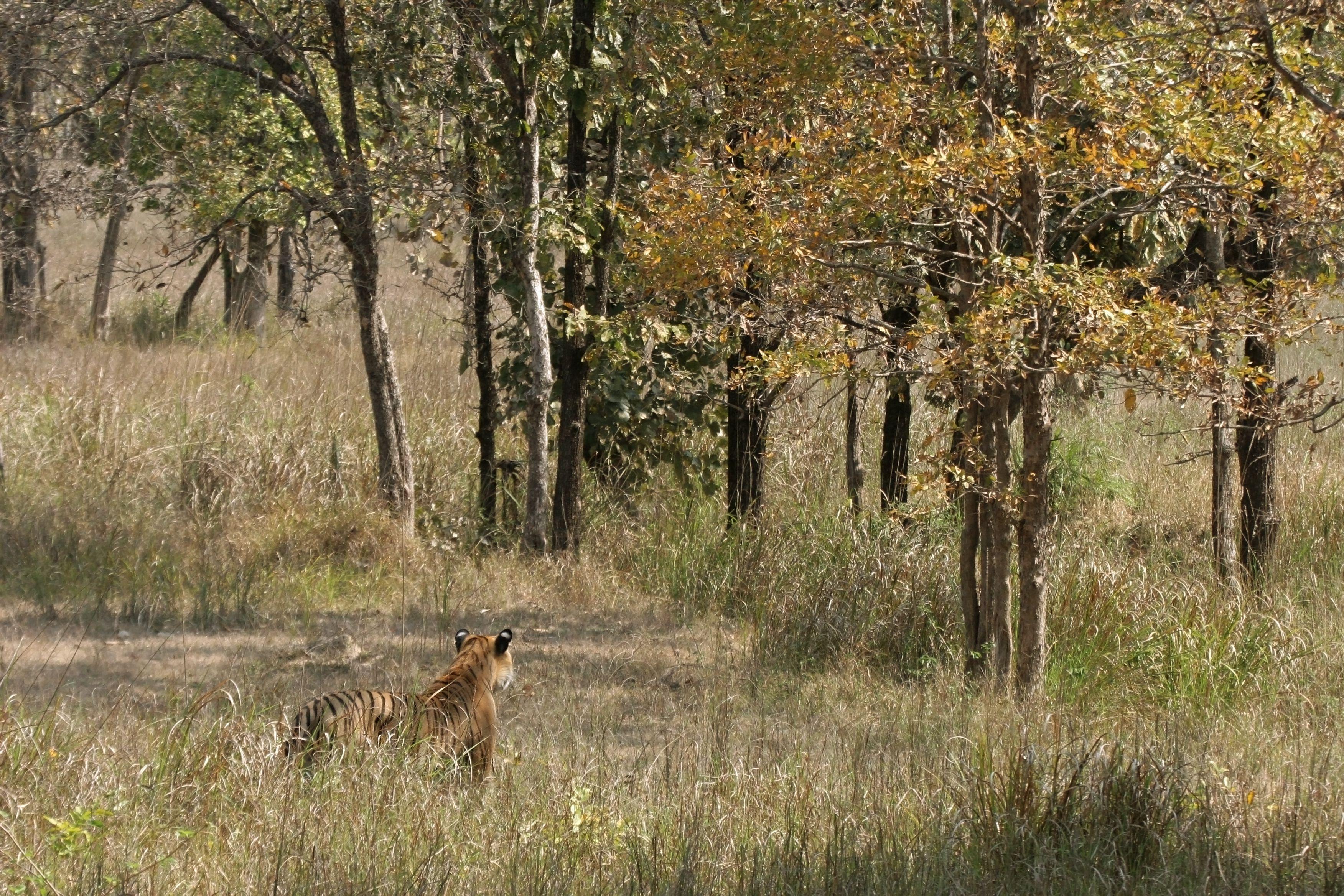 Tiger in Kanha National Park.