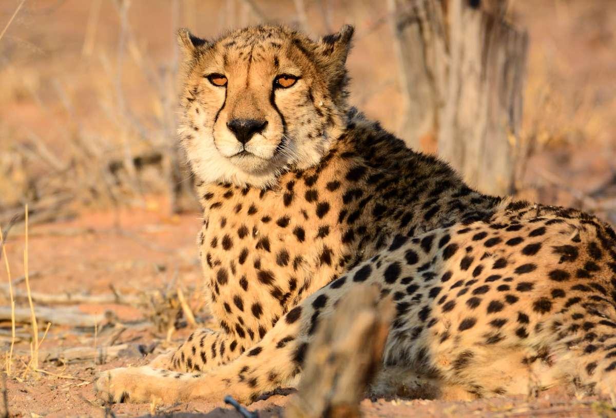 Un guepardo tumbado al sol