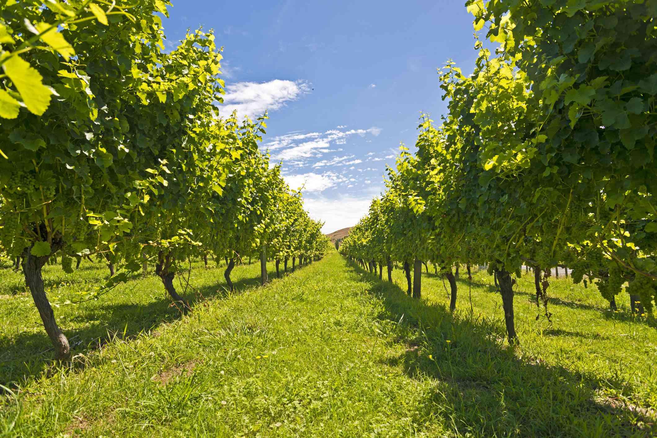 Vines in a vineyard near Gisborne, East Cape, North Island, New Zealand