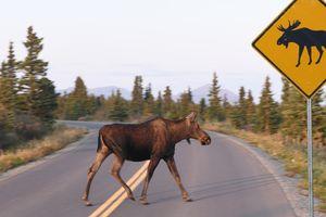 Moose crossing the road in Alaska, USA