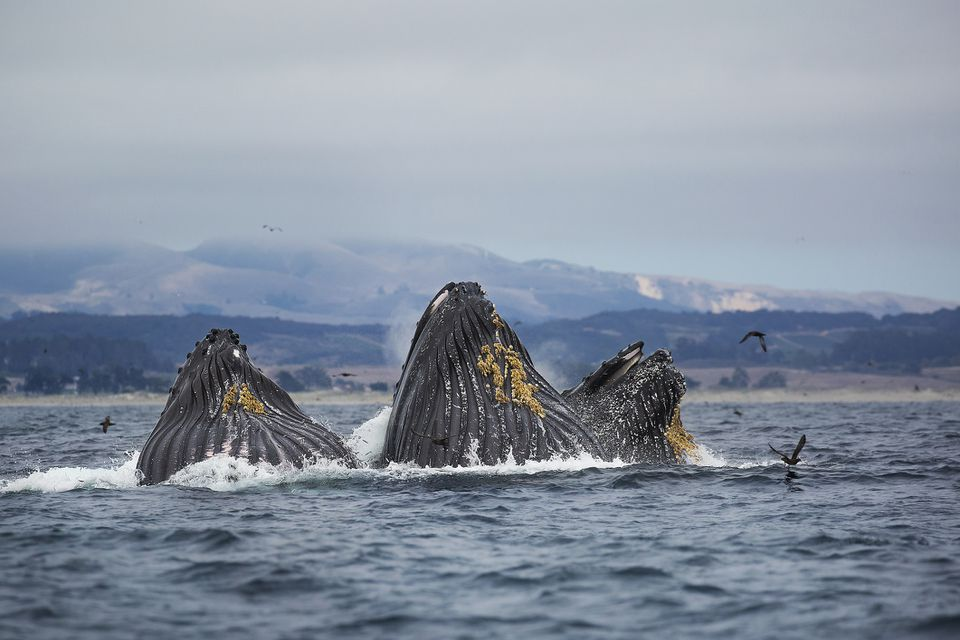 A trio of humpback whales feeding in Monterey Bay, California