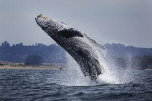 Water Ballet, whale jumping out of the ocean off the coast of California