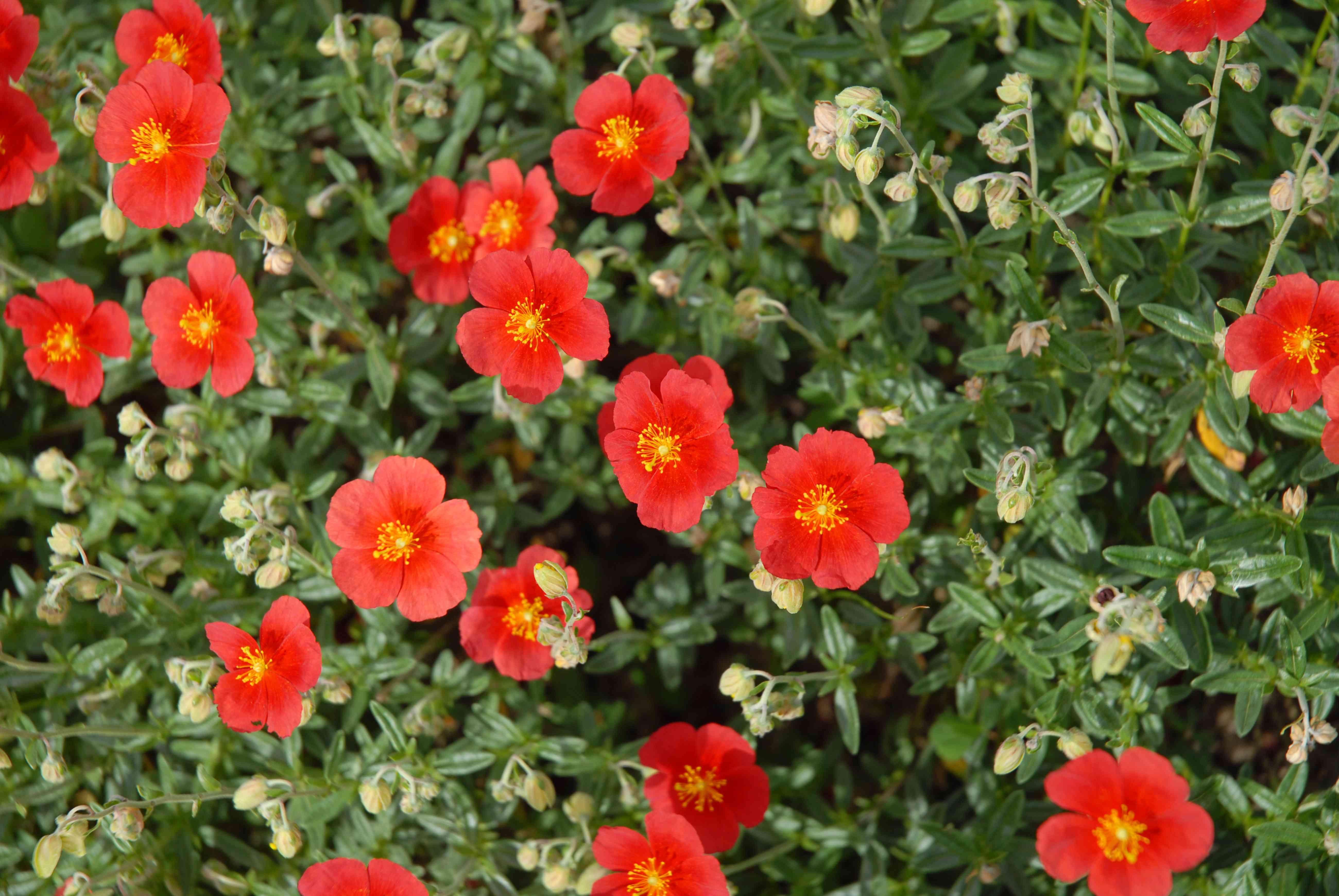 Arbusto de rosas de roca rojo anaranjado