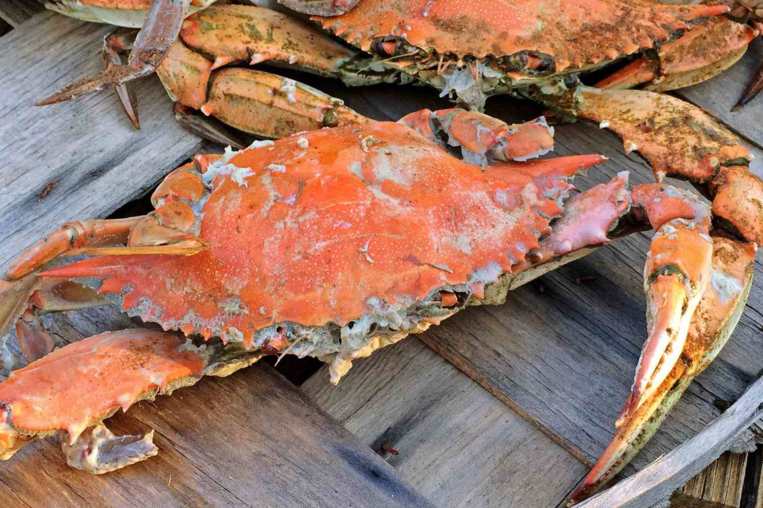 A steamed Maryland crab