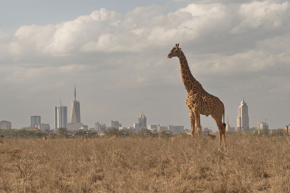 Giraffe Standing On Grassy Field Against City