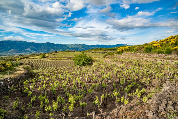 Vineyard in Sicily with mountains in the distance