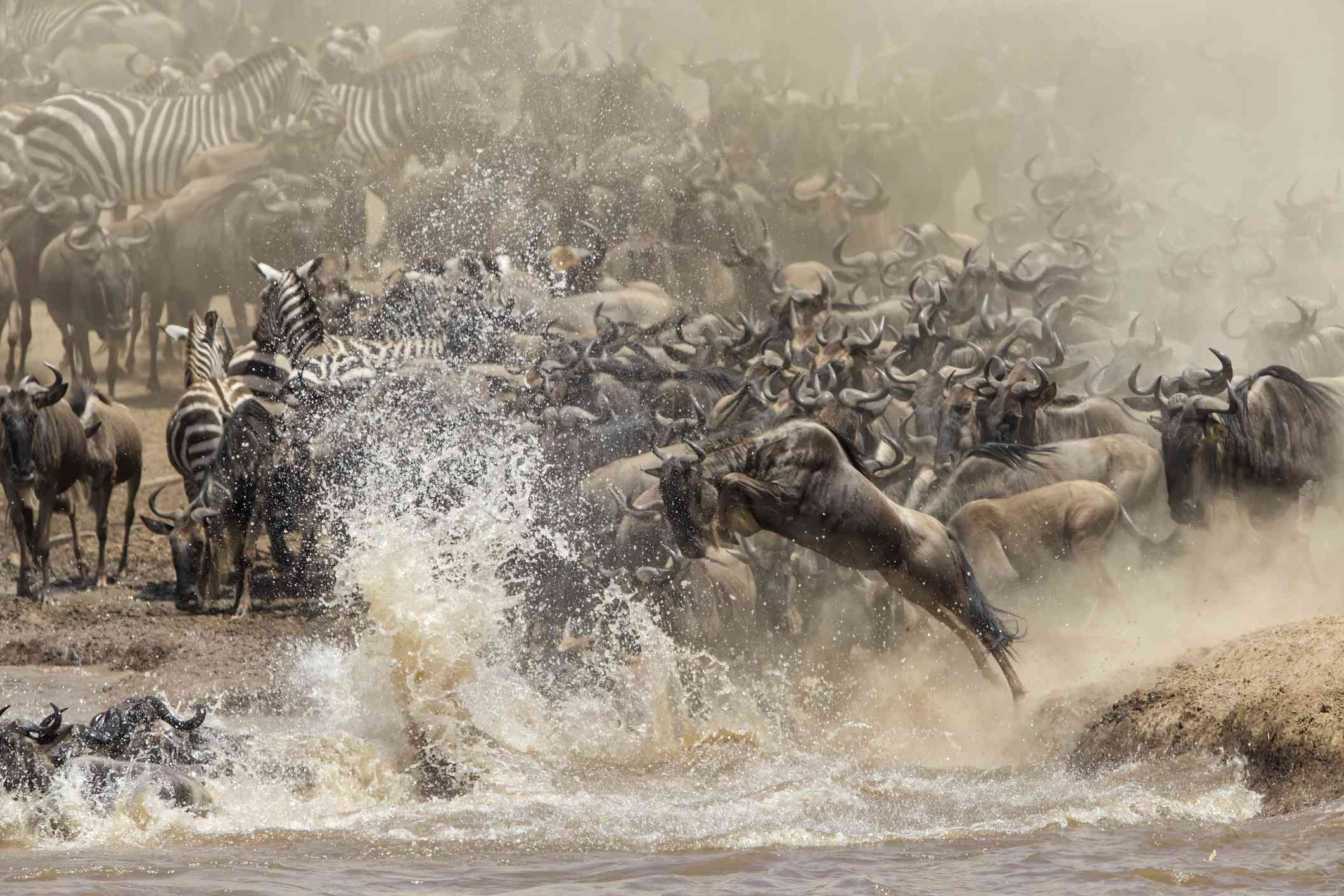 Wildebeest and zebra crossing a river during the Great Migration