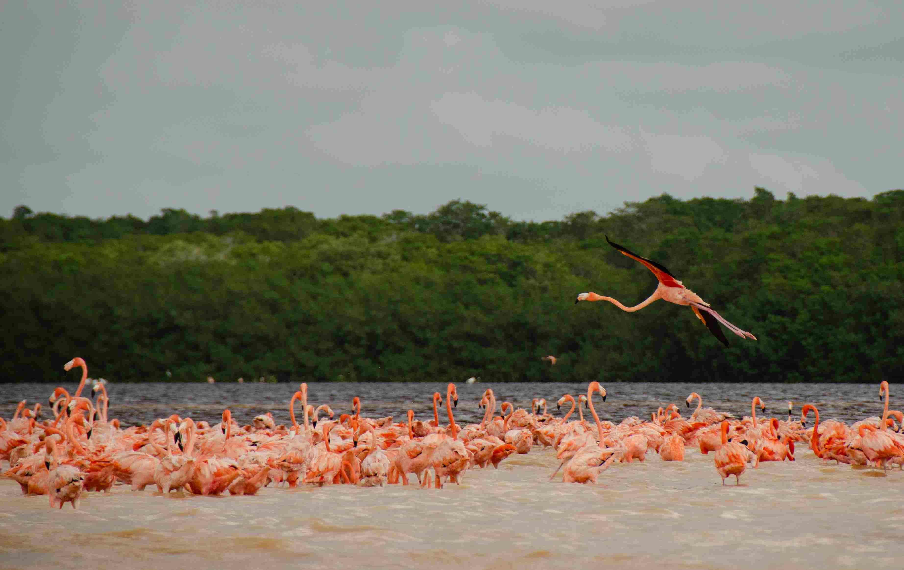 Flamingos in the wild in Celestun, Yucatán, México