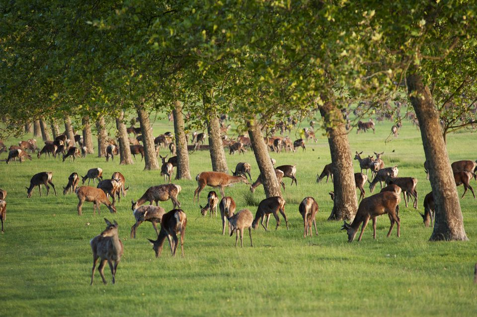 Great Britain, England, Berkshire, Windsor, Windsor Castle, deer at Windsor Great Park
