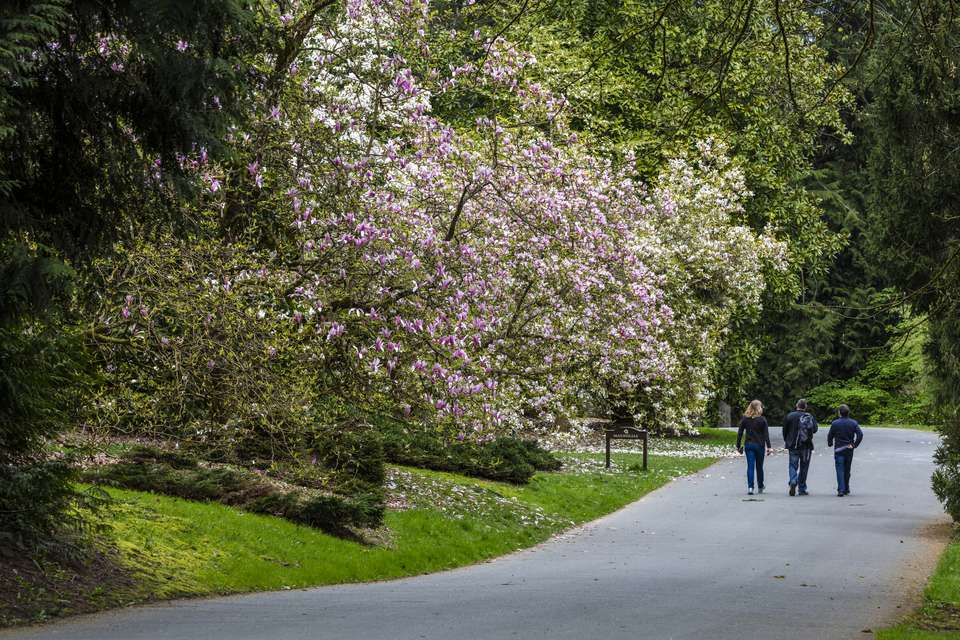 Magnolia trees flowering in spring at Washington Park Arboretum in Seattle, Washington State, USA