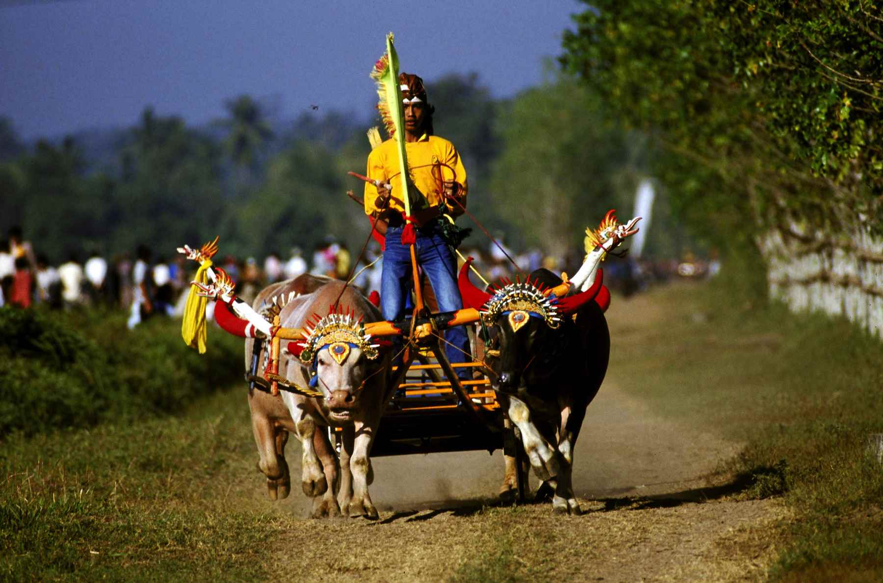 Water buffalo racing with chariots, West Bali