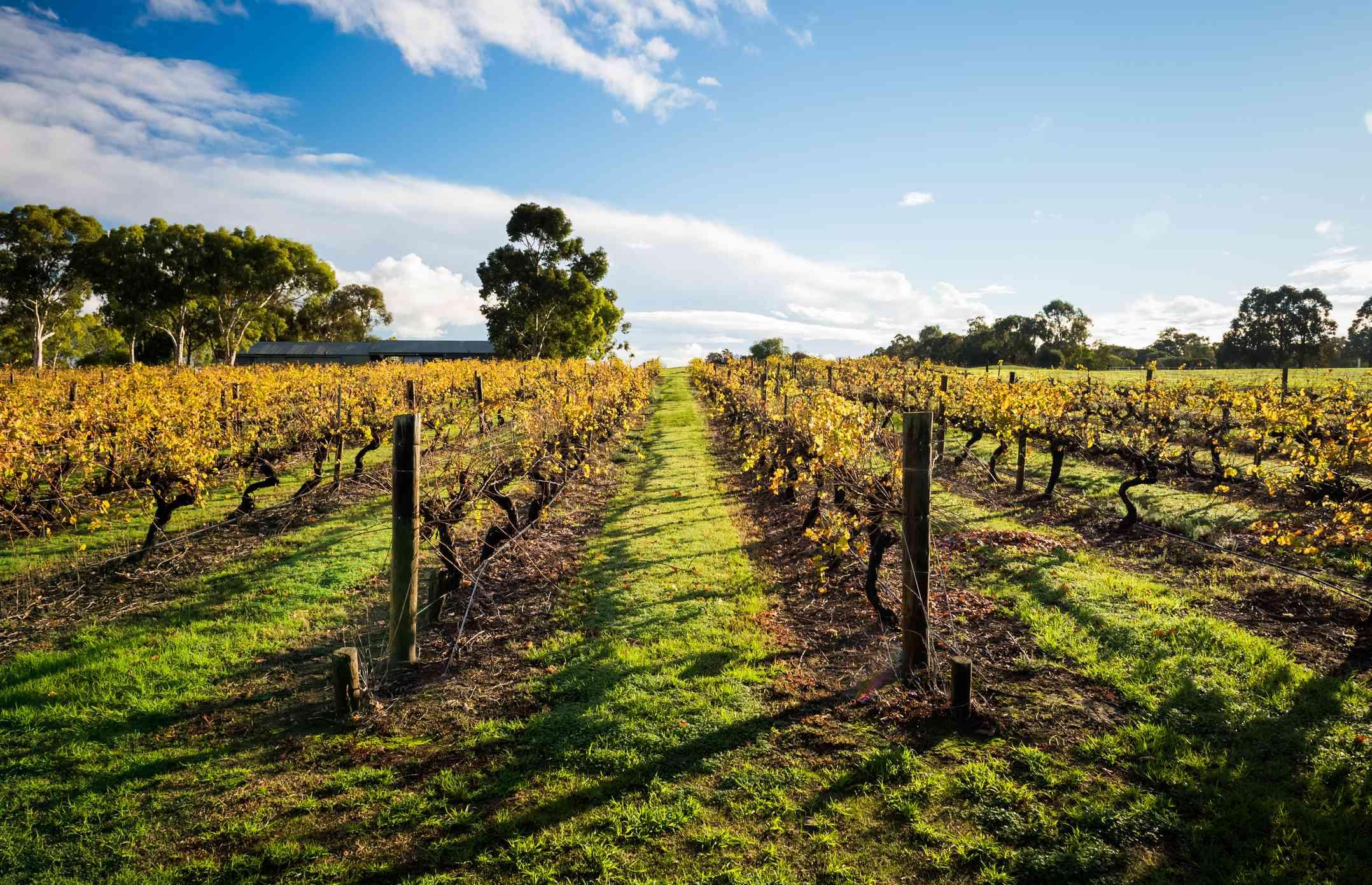 Landscape of vineyard in Swan Valley, Australia
