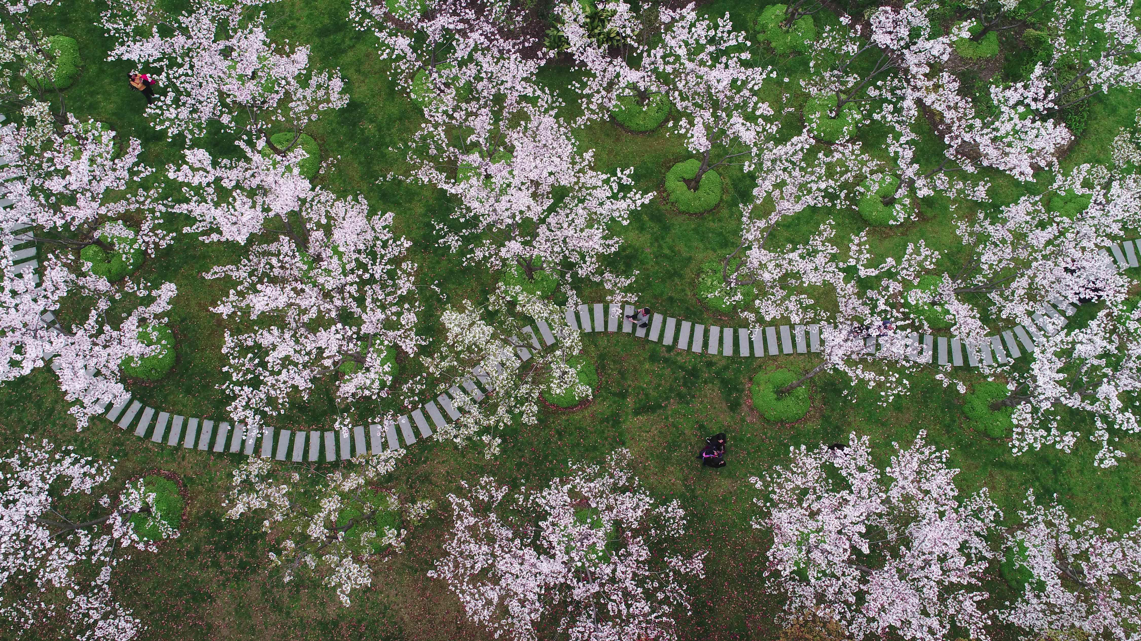 Sakura blossoms in Shanghai
