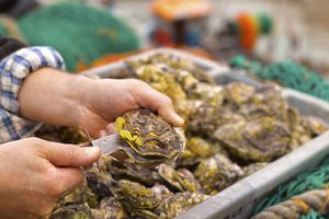 Bringing Whitstable Oysters ashore