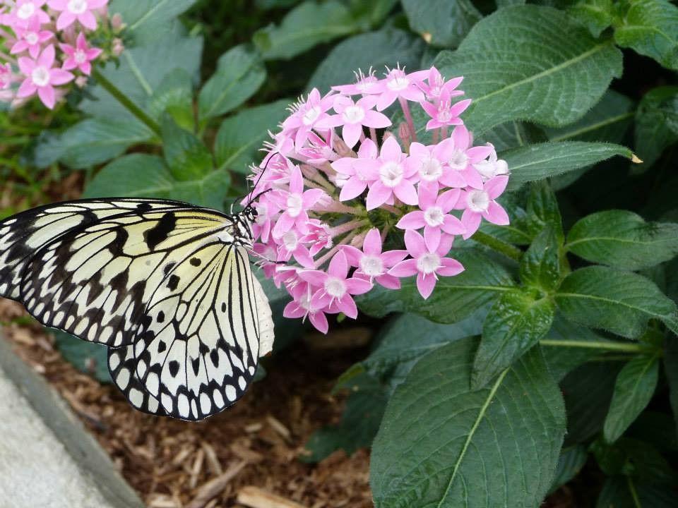 Mariposa en el Invernadero del Jardín Botánico de Montreal