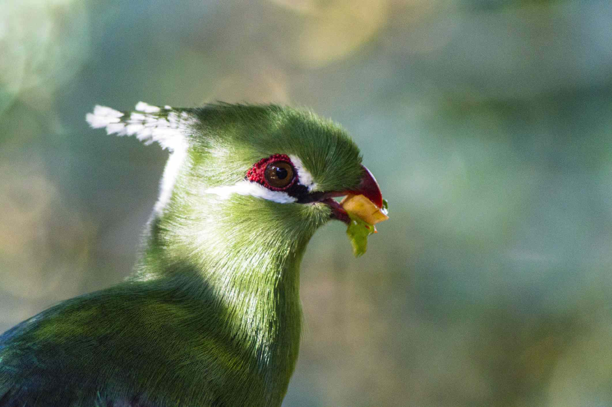 Schalow's turaco at Birds of Eden, The Crags