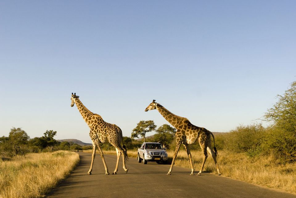 Giraffes crossing the road in Kruger National Park