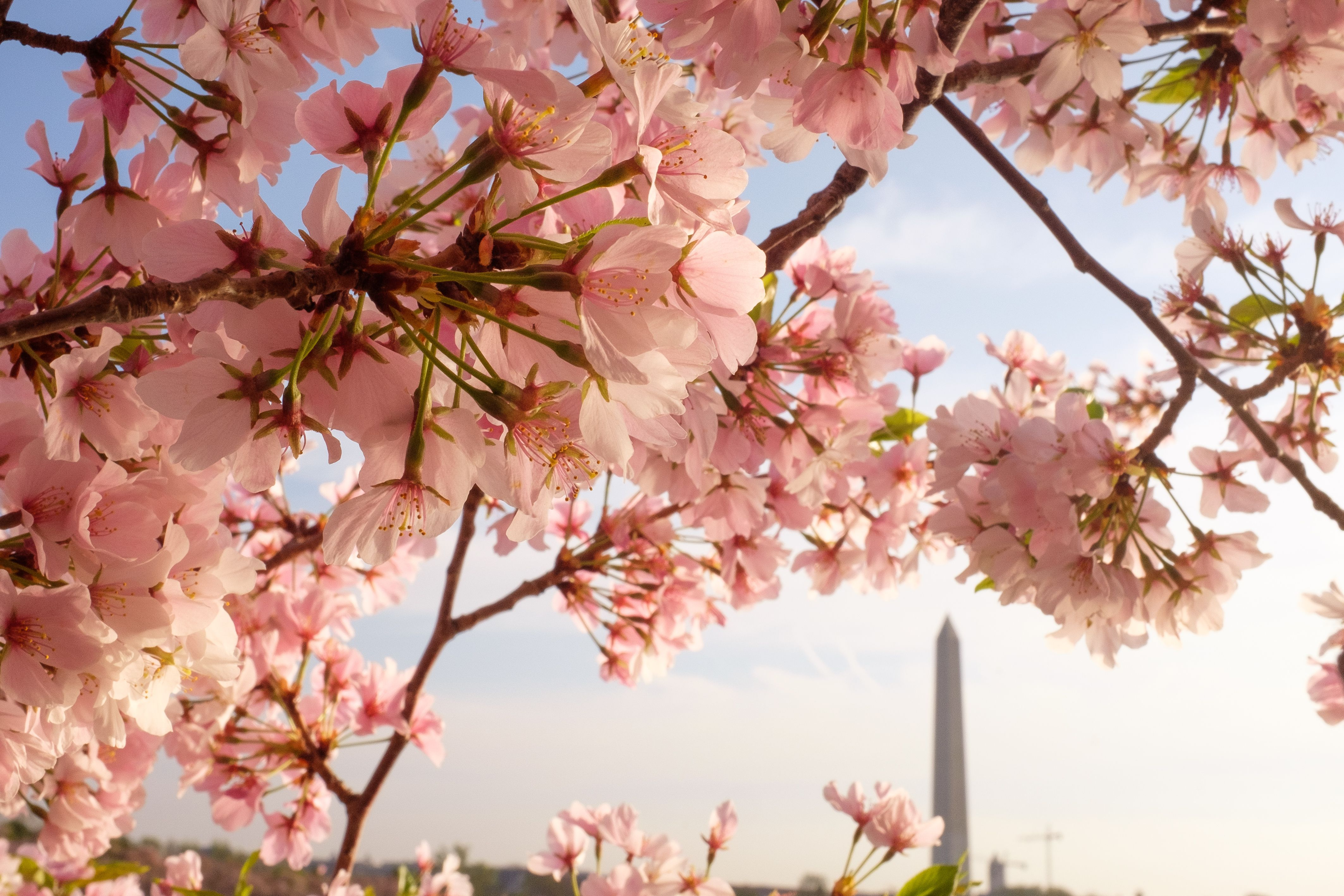 Cherry blossoms and the Washington Monument seen during the Cherry Blossom Festival