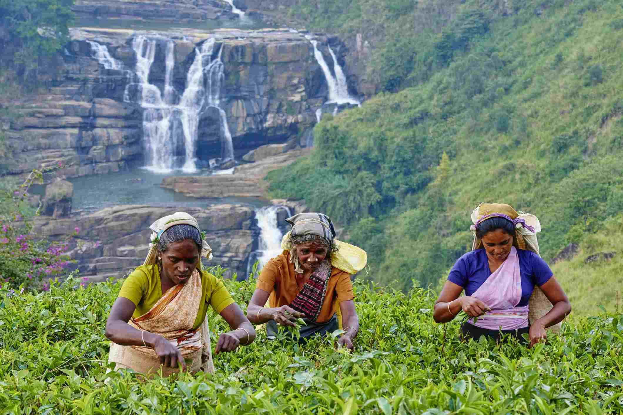 Tea picking in Sri Lanka.