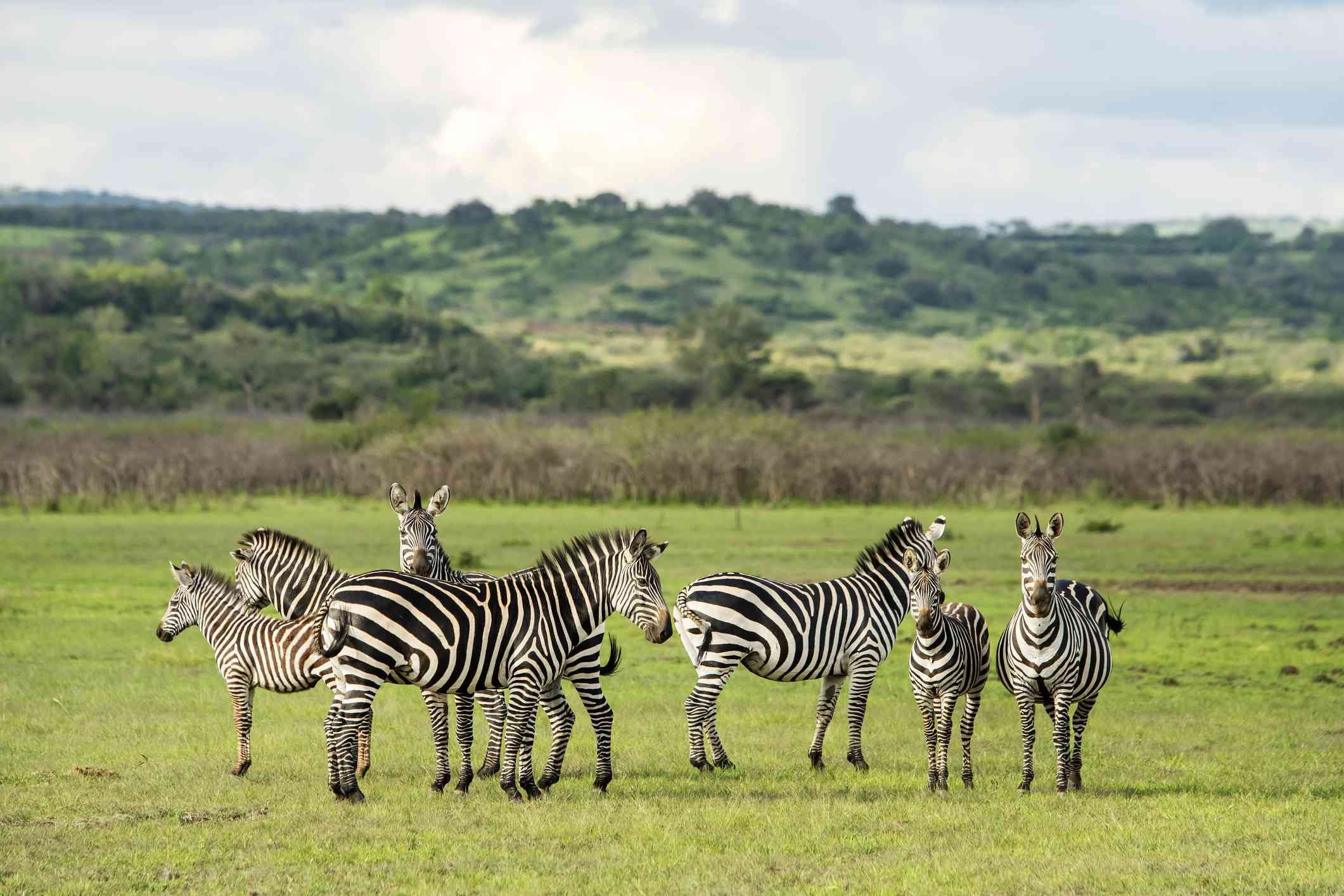 Herd of zebra in Akagera National Park, Rwanda