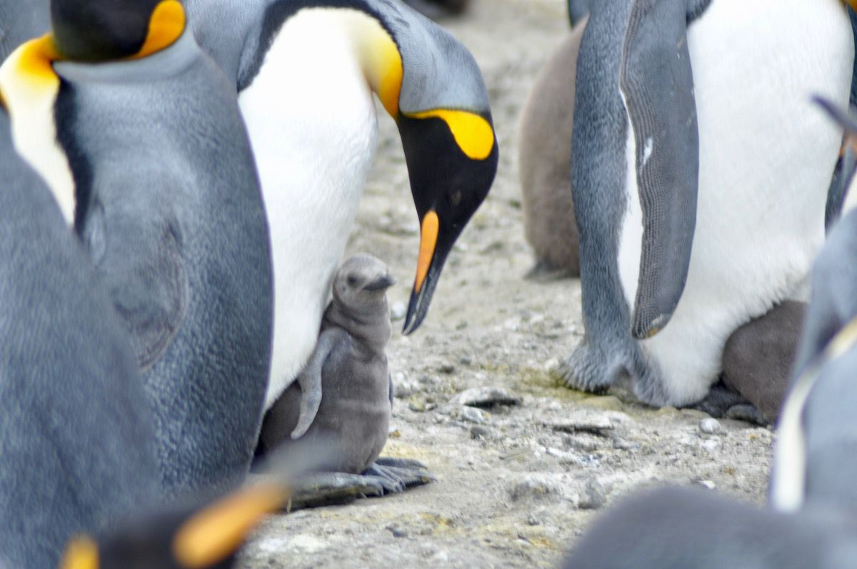 A penguin watches over its young hatchling in the Antarctic