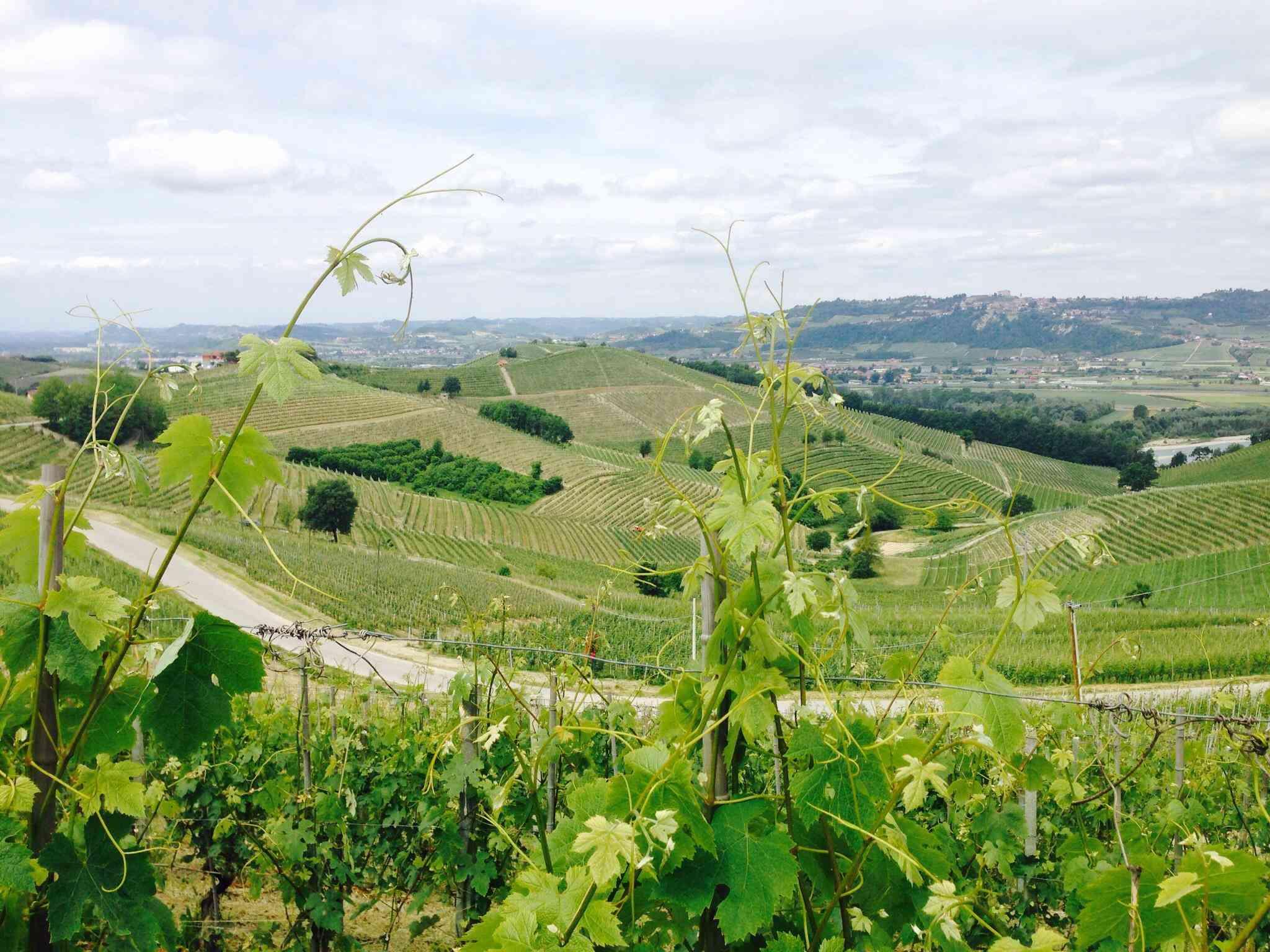 Vineyards in the Monferrato area