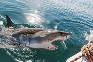 Great white shark approaches cage diving boat in Gansbaai, South Africa