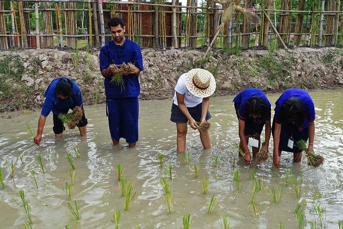 Rice planting at Khao Khun Mae