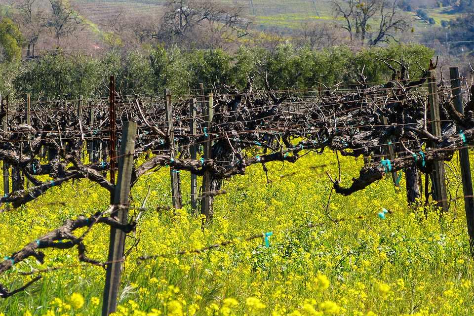 Napa Vineyard in Spring
