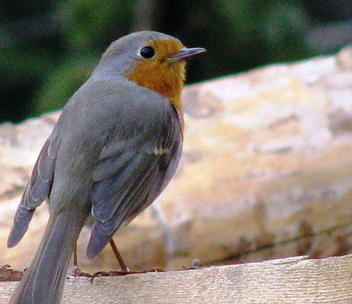 State Bird of Michigan: Robin