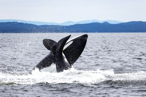 Whale watching in BC