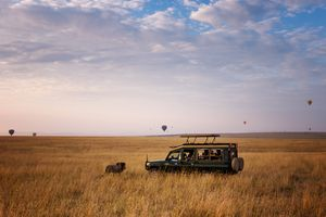 Lion Crossing in Front of Safari Vehicle and Hot Air Balloons in Masai Mara