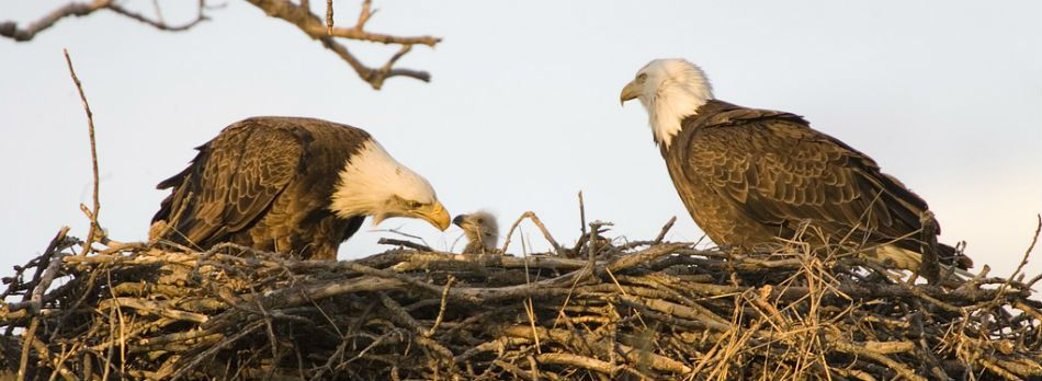 Two eagles tending to their young at the Two Rivers National Wildlife Refuge