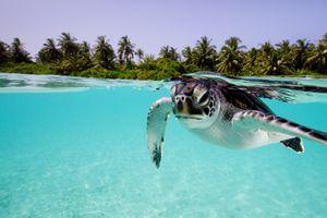 Green sea turtle (Chelonia mydas) and human