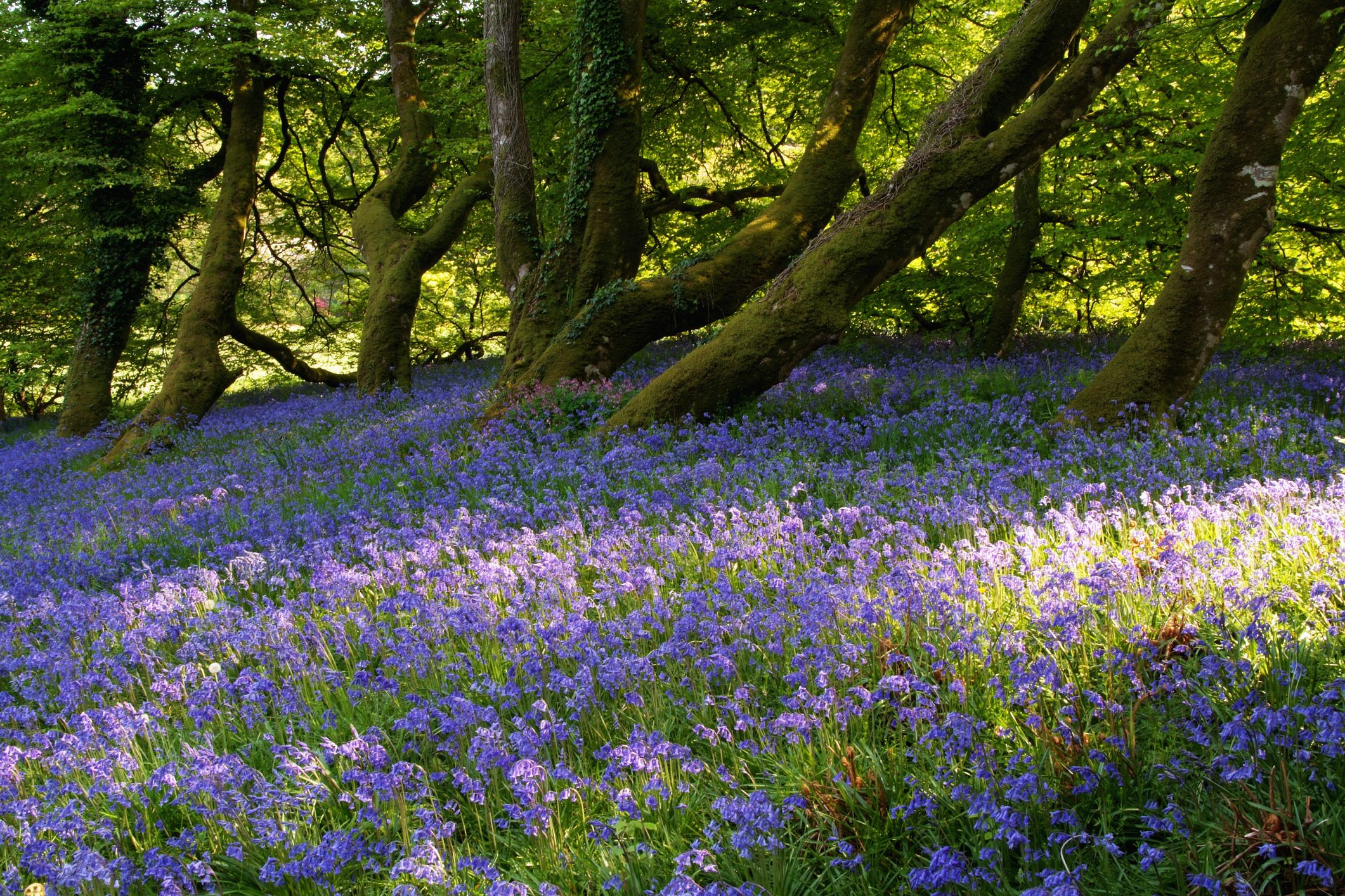 Mount Congreve Gardens in bloom with purple flowers near the City of Waterford