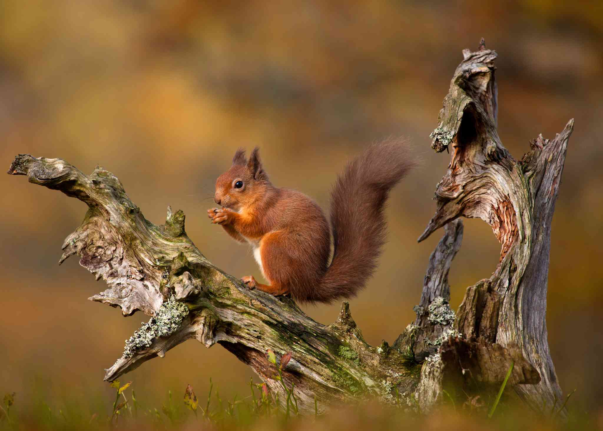 Red squirrel sitting on an old tree stump, UK