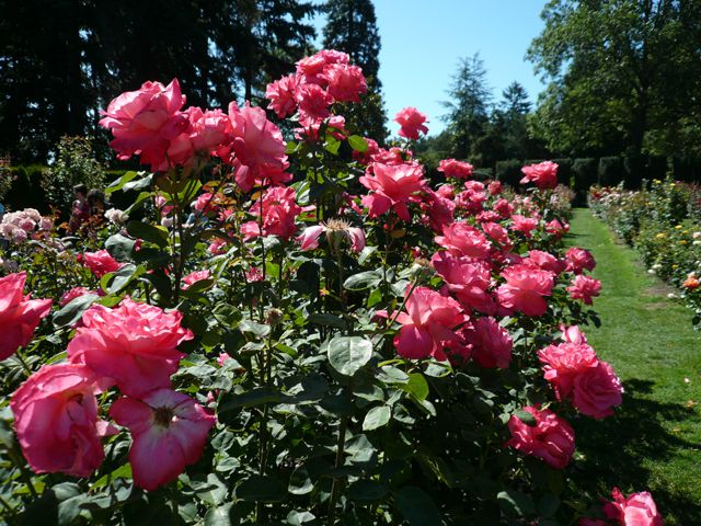 Roses at the Portland Rose Garden