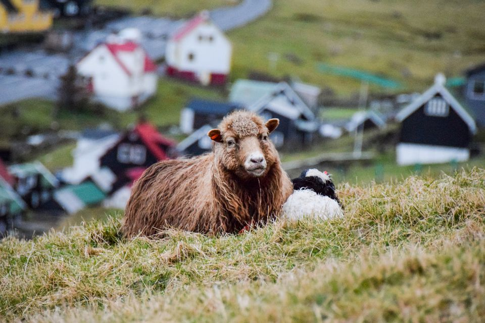 Two sheep on a hill on the Faroe Islands