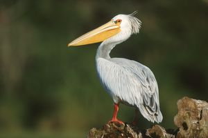 Pink-Backed Pelican, Southern Africa Best Birding