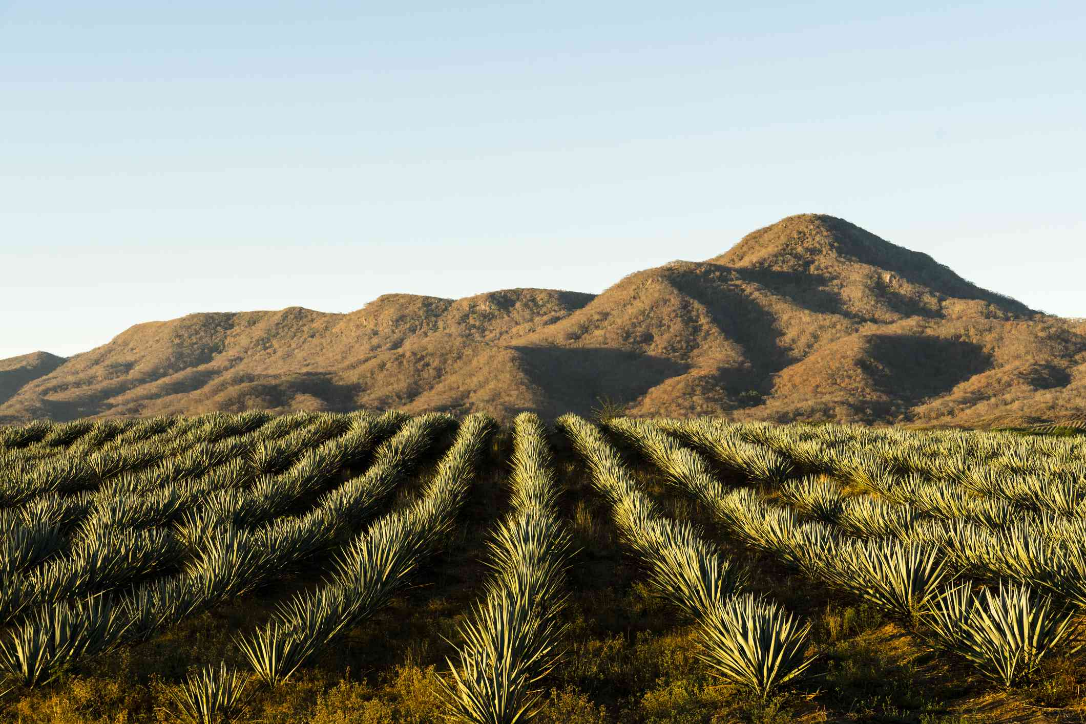 A field of Blue Agave in Jalisco, Mexico