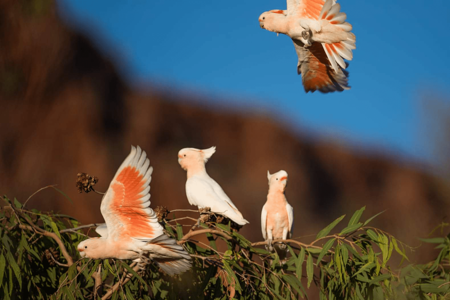 Four pink birds on a eucalyptus branch (Major Mitchell's cockatoos)