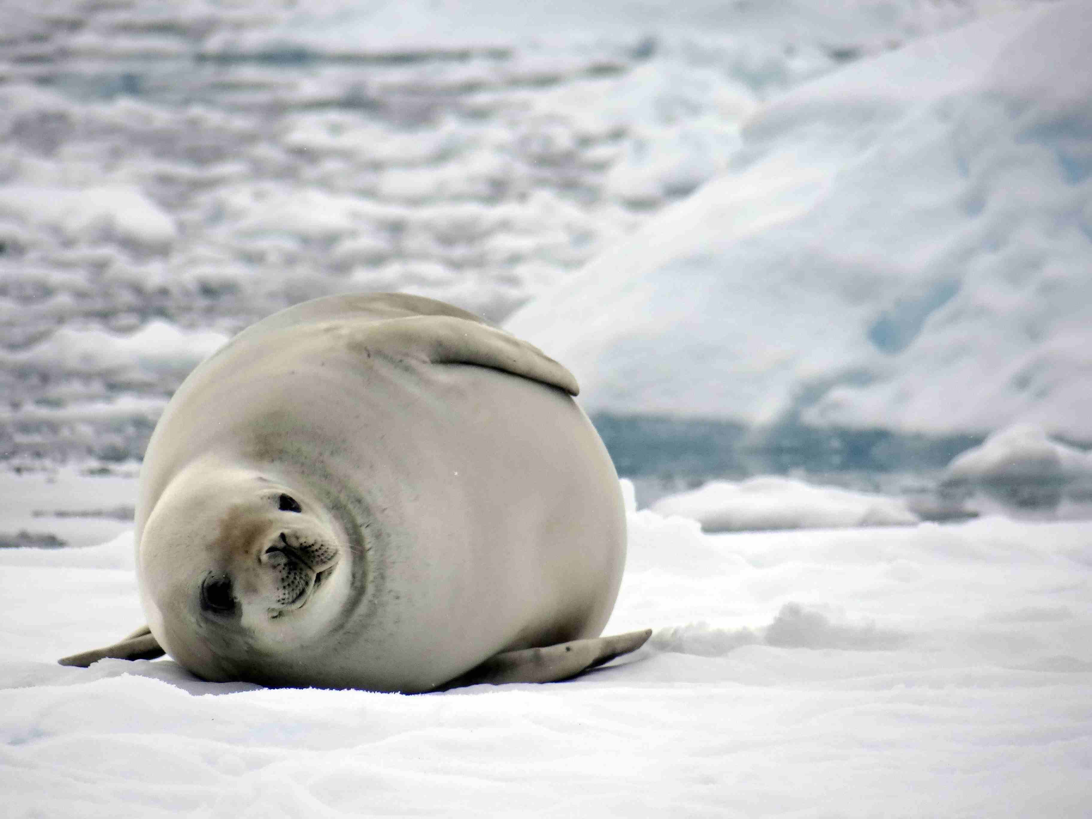 Crabeater seal in Neko Harbor, Antarctica