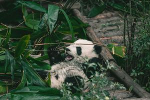 Giant Panda in Chengdu
