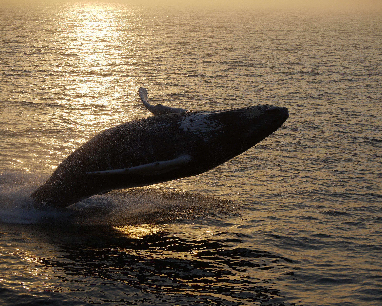 Breaching Humpback during a Massachusetts Whale Watch
