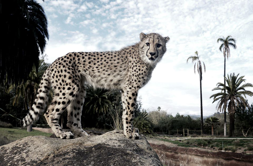 Ruux the cheetah at the San Diego Safari Park