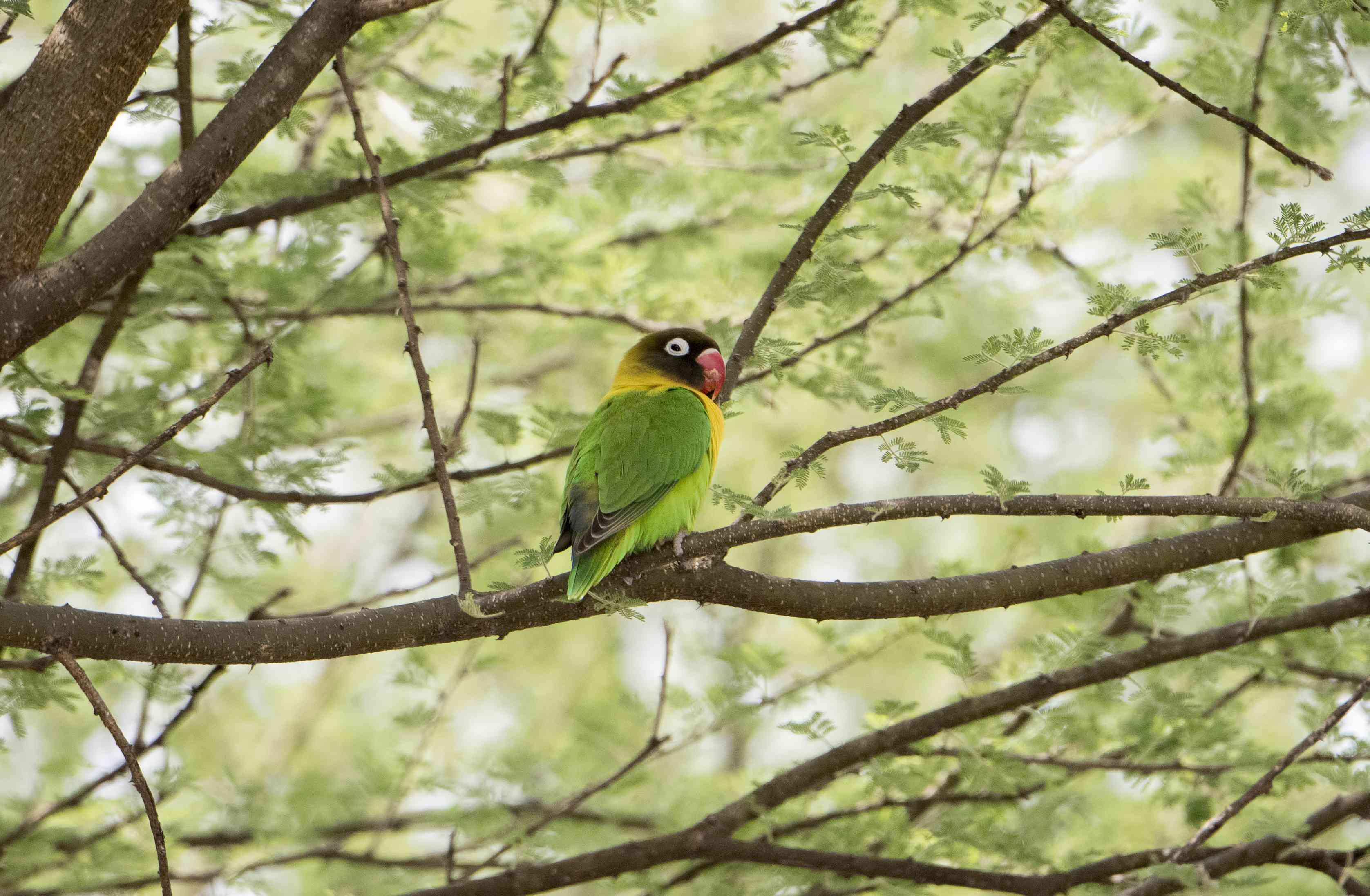 Endemic yellow-collared lovebird in Tanzania