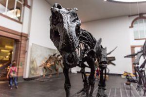 Close up of a dinosaur skeleton in the Senckenberg Museum